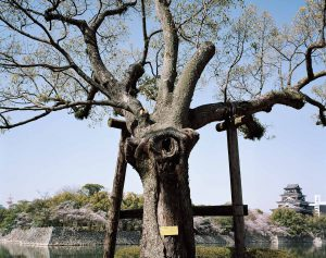 A-bombed-Camphor-Tree-Near-Hiroshima-Castle_2000_web